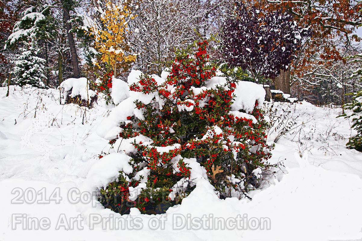 Pyracantha in the Snow Art Print