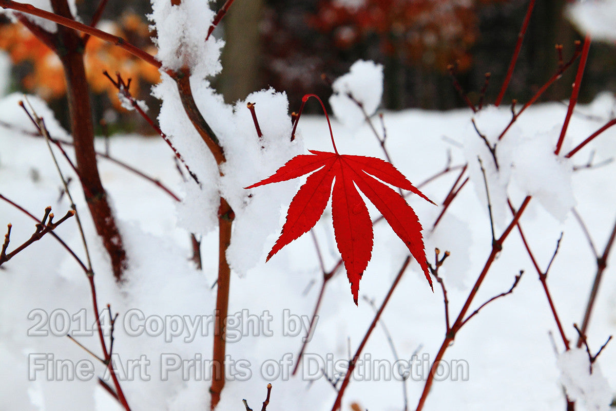 Red Japanese Maple Leaf Surrounded by Snow Art Print