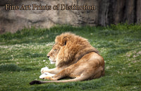 Lion Laying in the Grass Country Decor Print