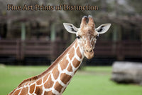 Giraffe Being Inquisitive