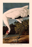 Hooping Crane Art Print by John James Audubon