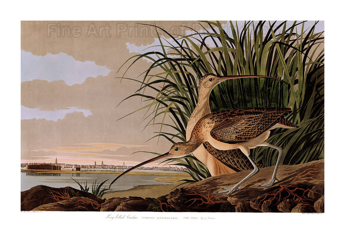 Long Billed Curlew Art Print by John James Audubon