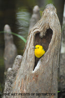 Prothonotary Warbler setting in a Heart Shaped Cavity of a Tree Stump