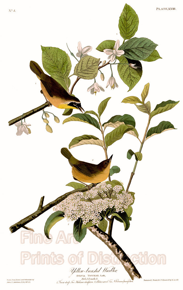 Yellow Breasted Warbler by John James Audubon