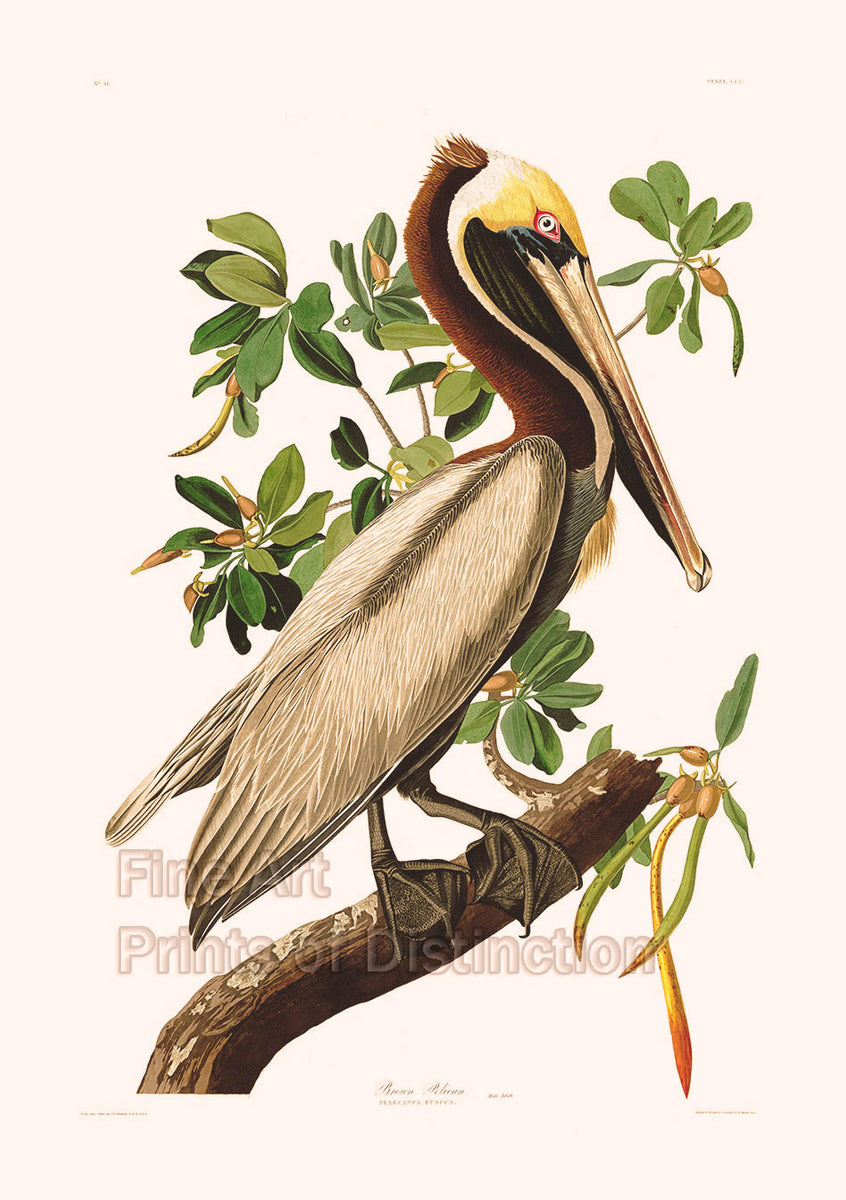 Brown Pelican by John James Audubon Art Print