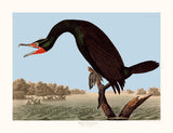 Florida Cormorant by John James Audubon