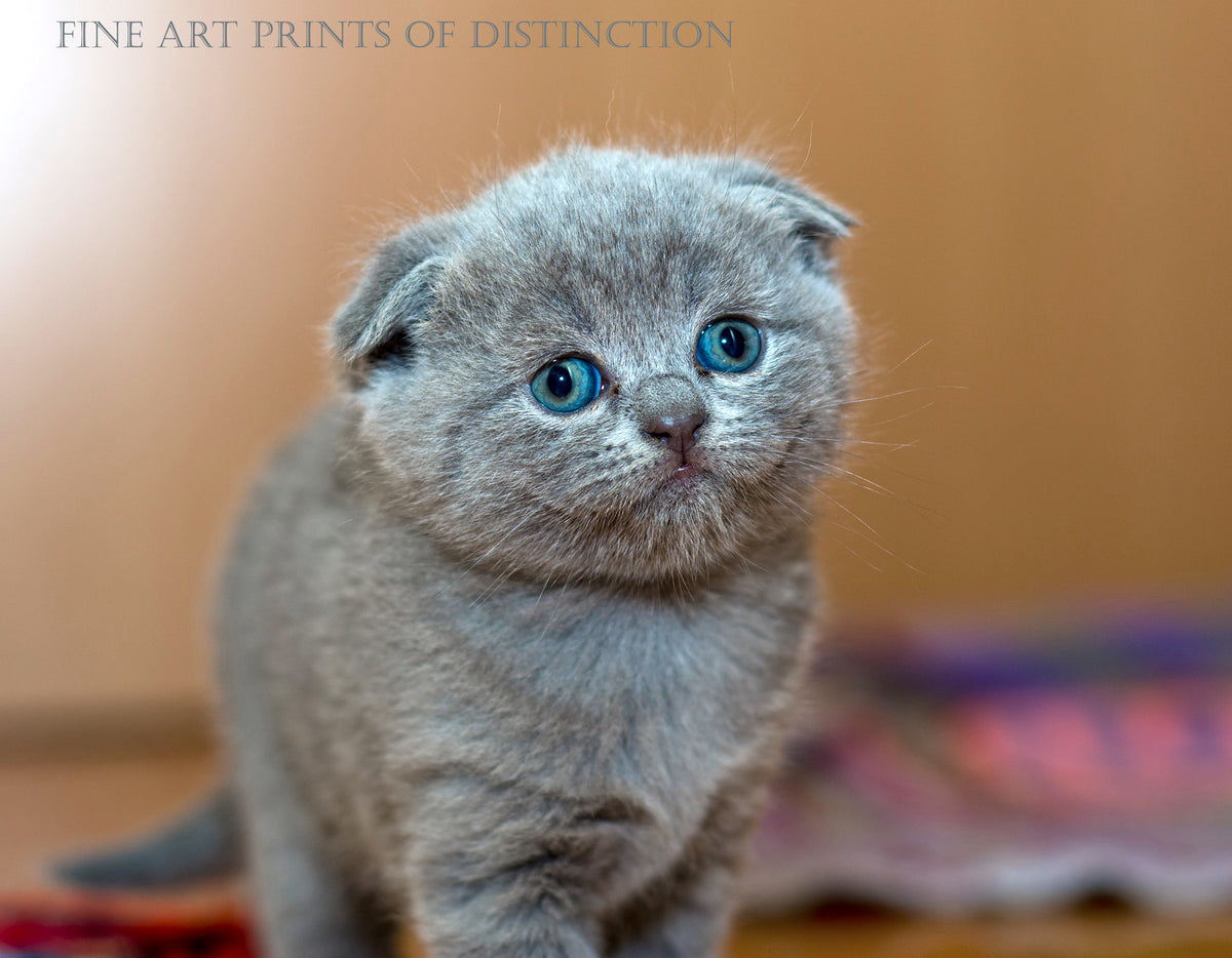 Gray Kitten with Blue Eyes and Flattened Ears Country Decor Print