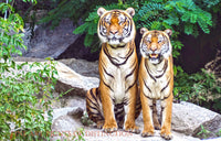 Pair of Tigers on the Rocks art print