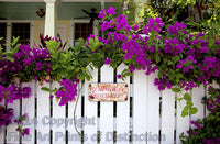 Hemingway Pissed Here sign framed with the Bougainvillea in Key West Florida Art Print