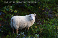 Large White Ram Sheep in the Scrub Brush country decor print