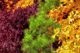 Unusual Fall Colors with Purple, Green and Yellow Art Print