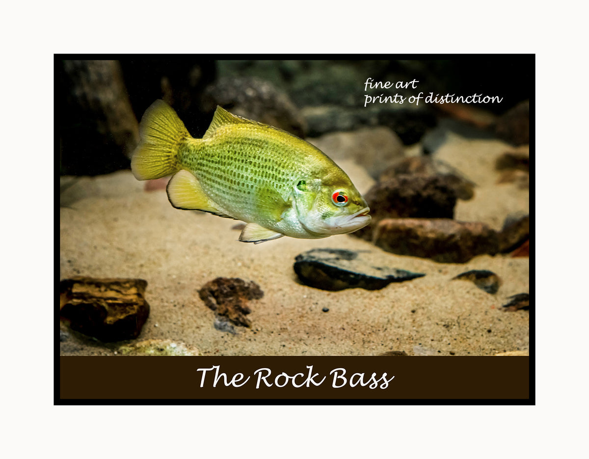 A premium poster of a Rock Bass with Red Eye