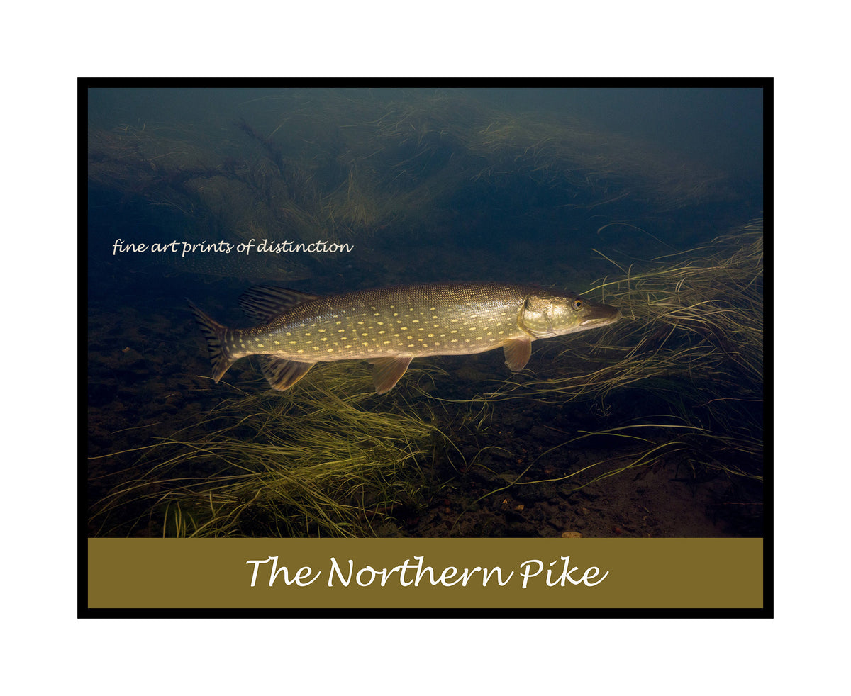 A premium poster of Northern Pike at the Water's Edge