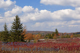 Spruce Trees, Blueberries and Grasses on Dolly Sods Art Print