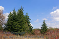 Group of Red Spruce Trees and a Single Specimen on Dolly Sods Art Print