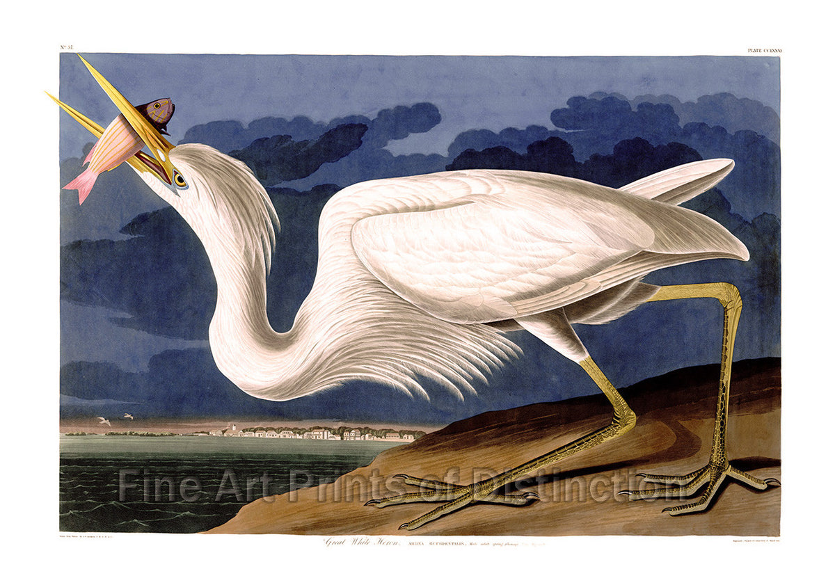 Great White Heron by John James Audubon Art Print