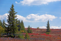Red Spruce and Blueberries on the Dolly Sods Plain Art Print