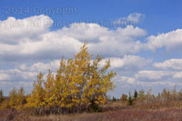 Leaning Yellow Trees on Dolly Sods Art Print