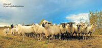 A premium print of Flock of Sheep Breaking Formation