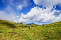 A premium print of Cows Grazing in a High Elevation Mountain Pasture