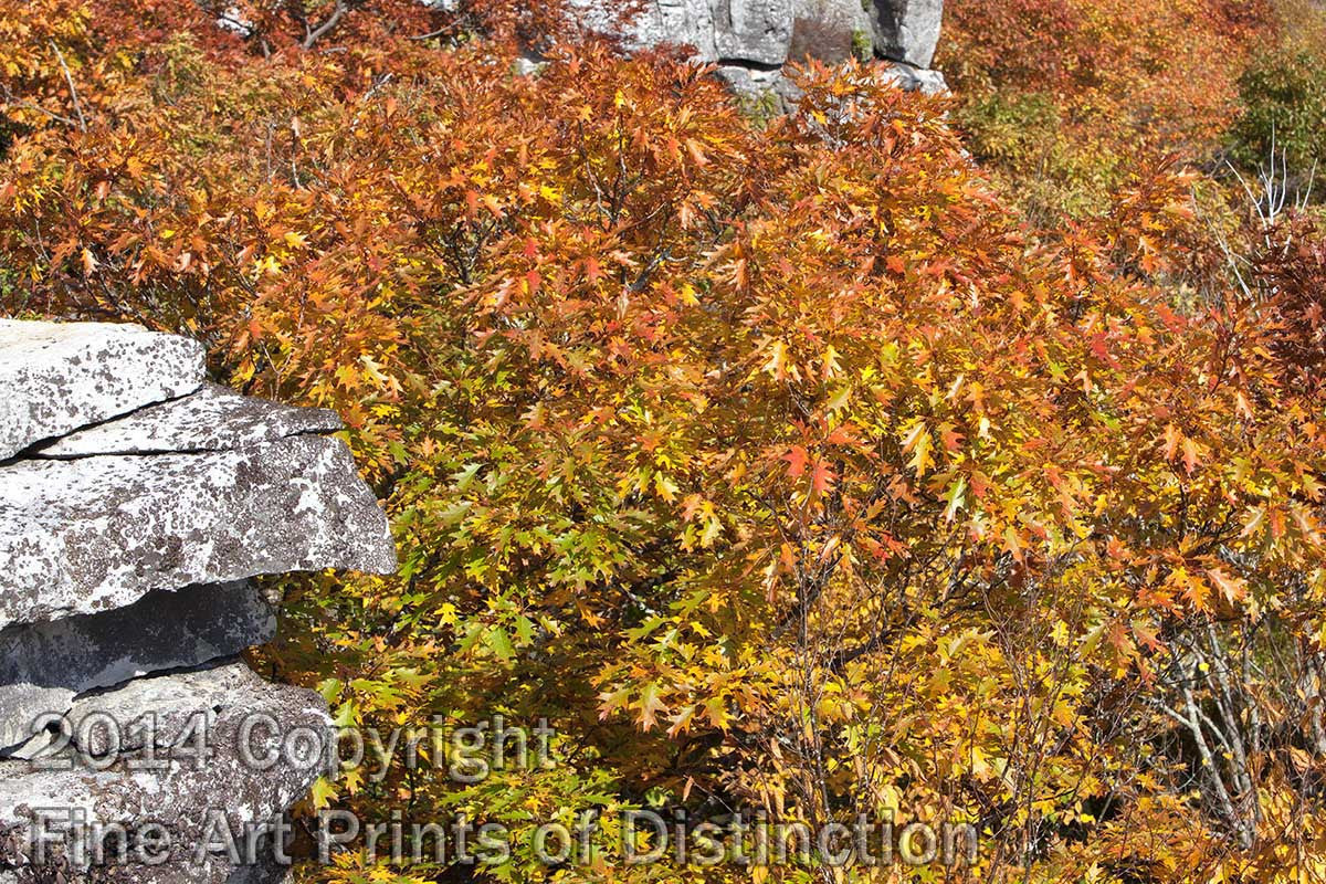 Rocks and Yellow Oak Leaves on Dolly Sods Art Print
