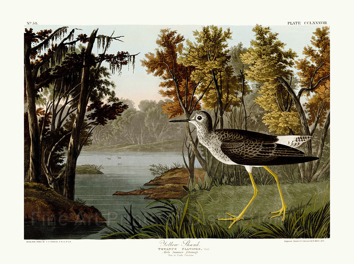Yellow Shank by John James Audubon