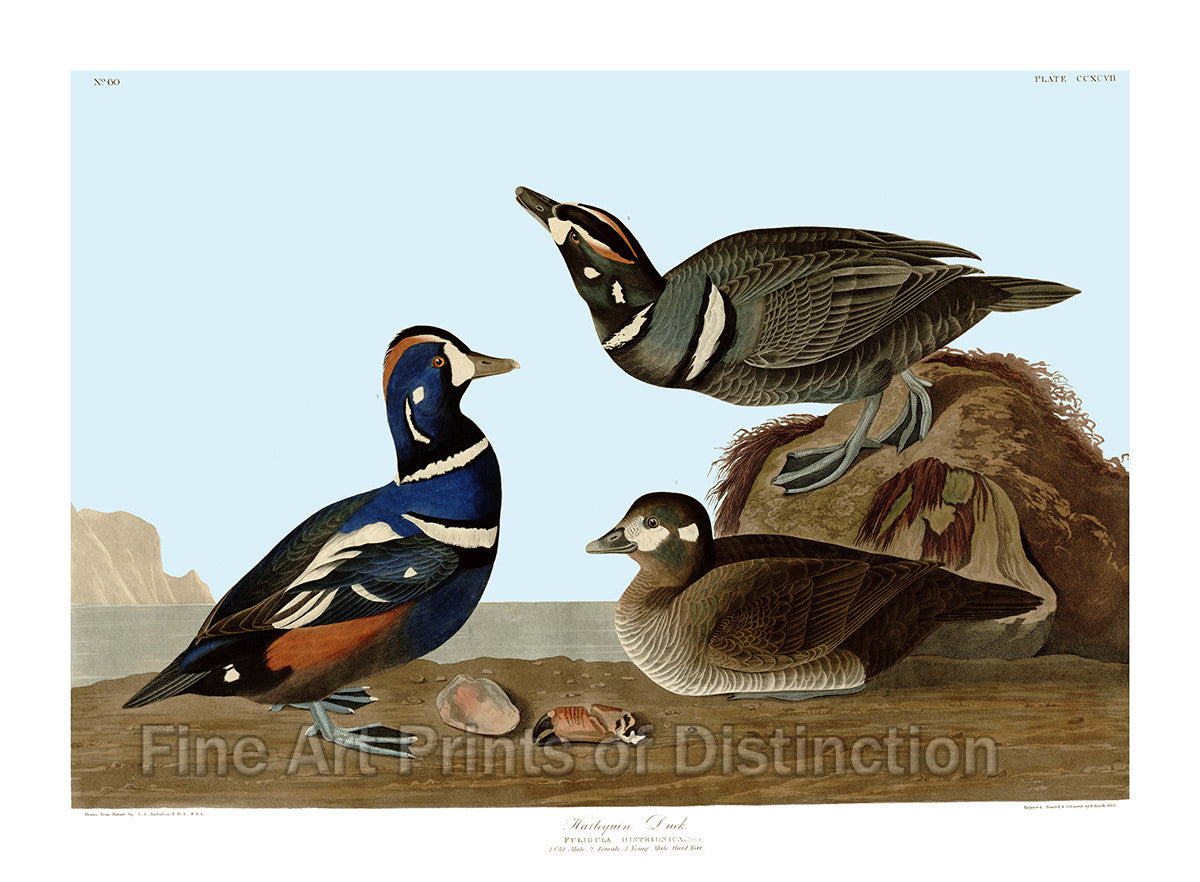Harlequin Duck by John James Audubon