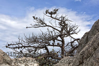 Dead Table Top Pine on top of Seneca Rocks Art Print