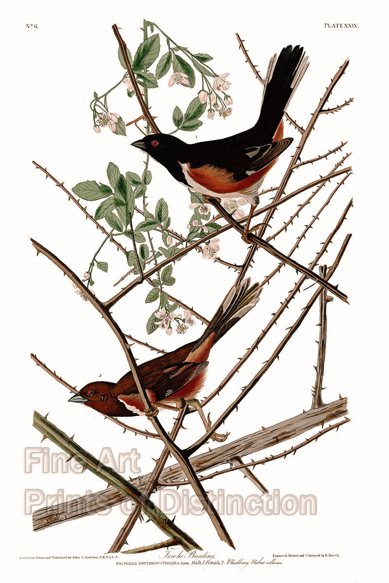 Towhe Bunting or Ground Finch bird by John James Audubon