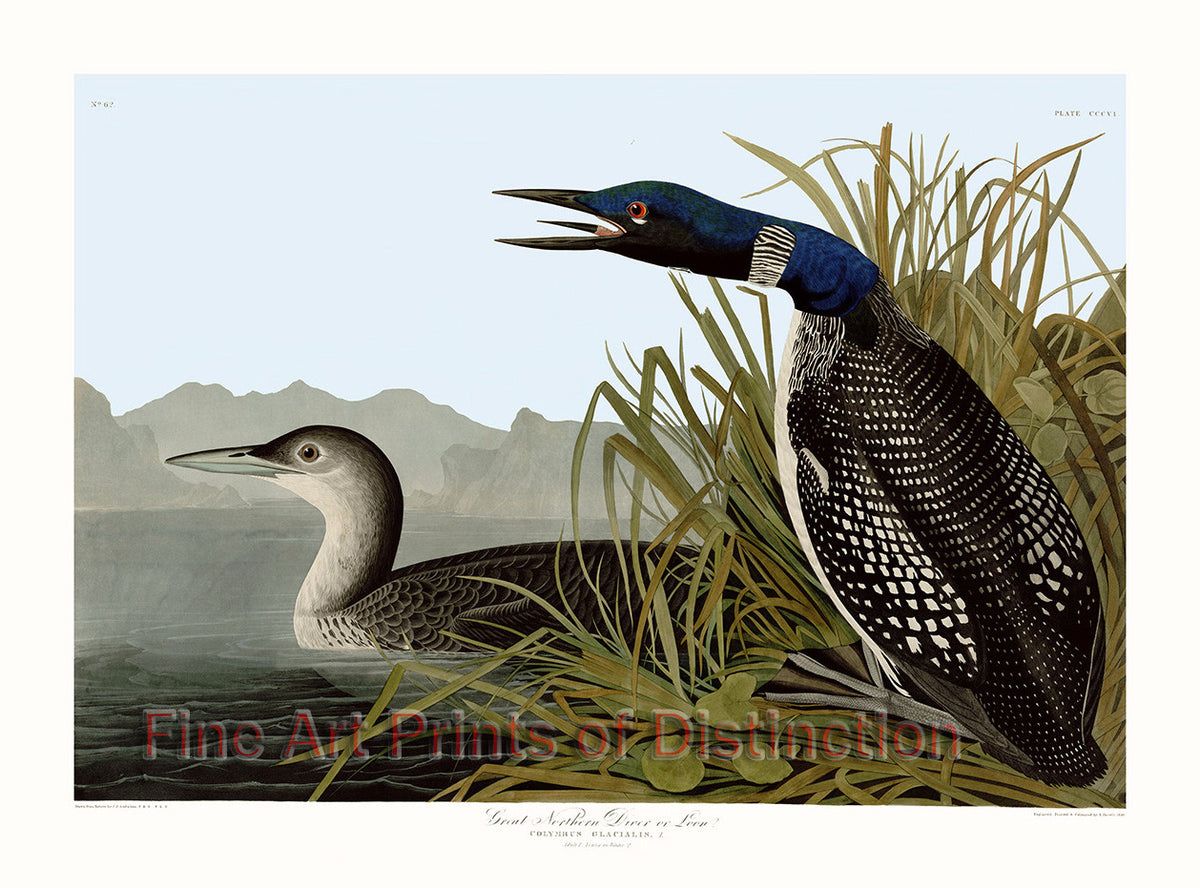 Northern Diver or Loon by John James Audubon