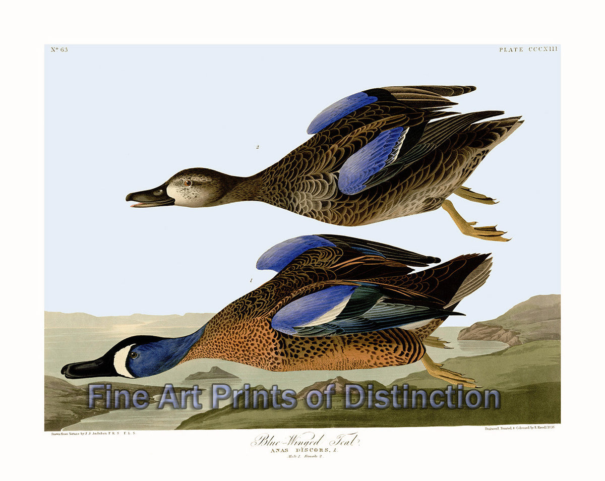 Blue Winged Teal by John James Audubon