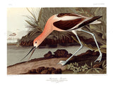 American Avocet by John James Audubon