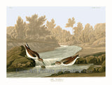 Little Sandpiper by John James Audubon