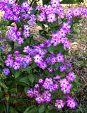 Wild Purple Phlox