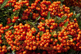 Pyracantha Orange Berry Pods Art Print