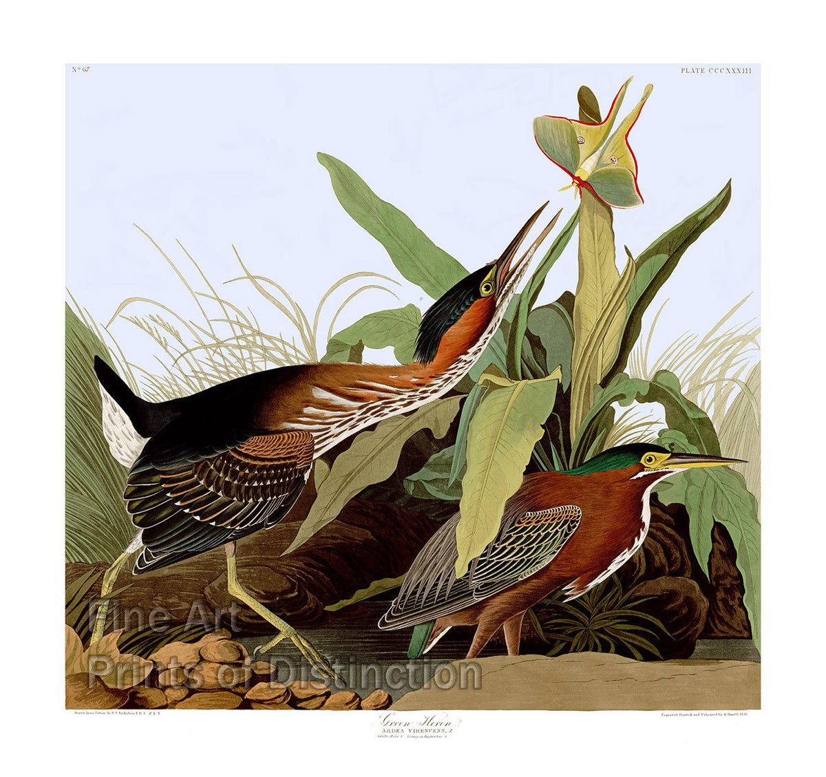 Green Heron by John James Audubon Art Print