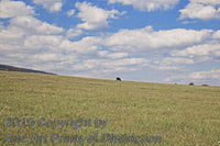 Lone Cow in a Large Hayfield