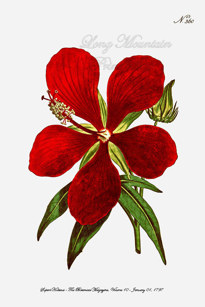 Superb Hibiscus Art Print