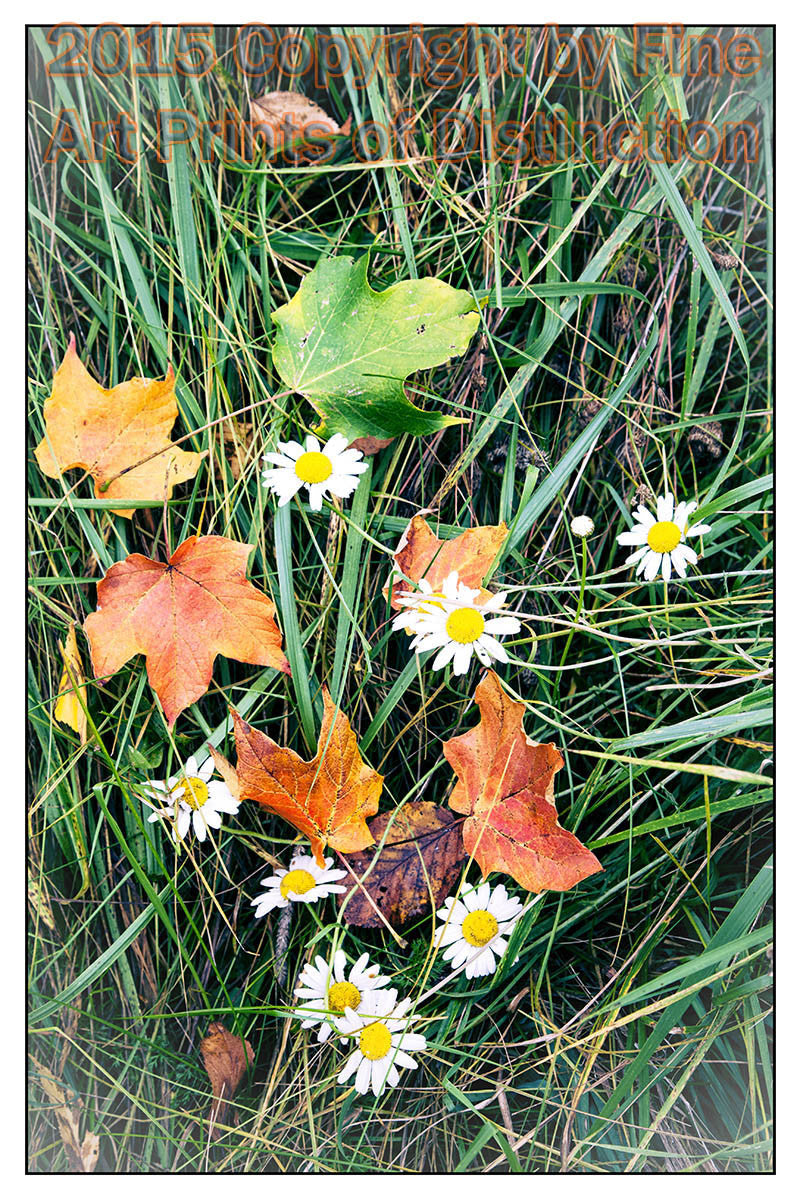 Maple Leaves Among the Daisies