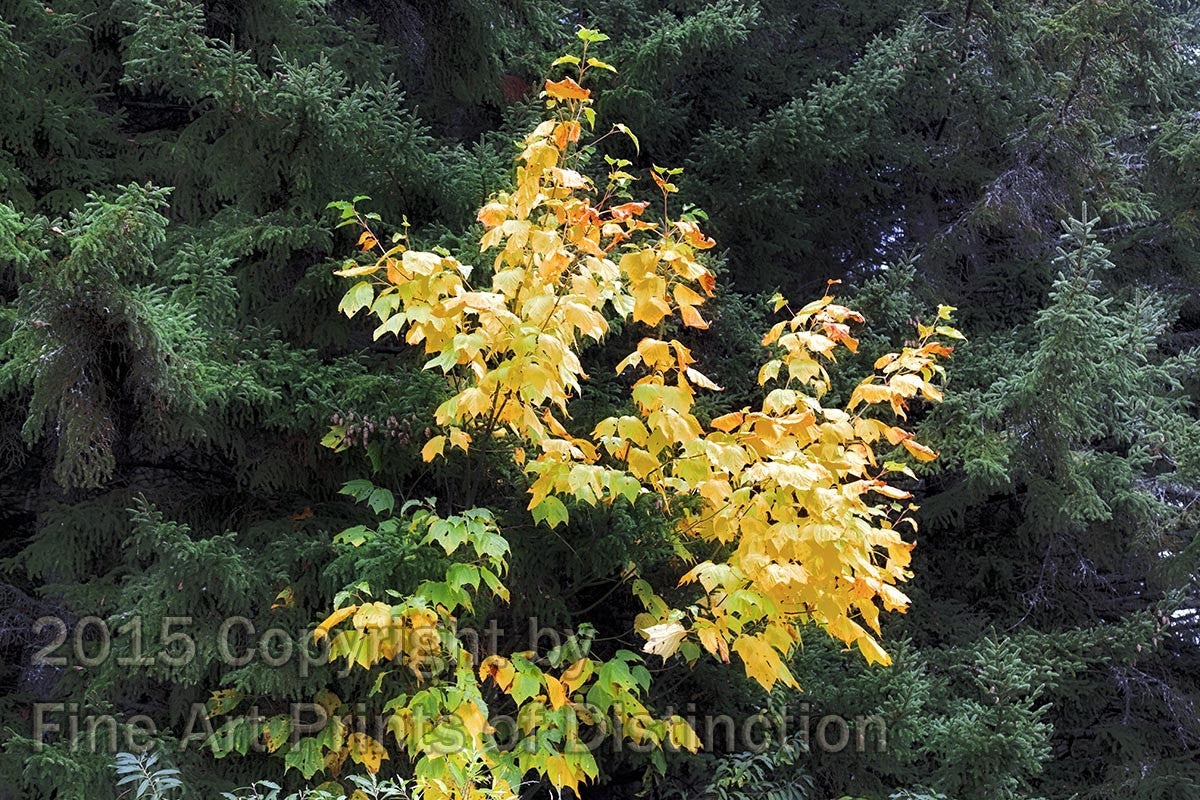 Yellow Maples in the Green Spruce