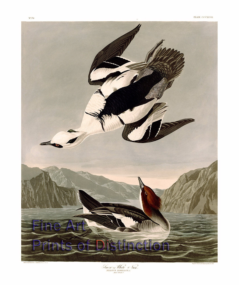 Smew or White Nun by John James Audubon