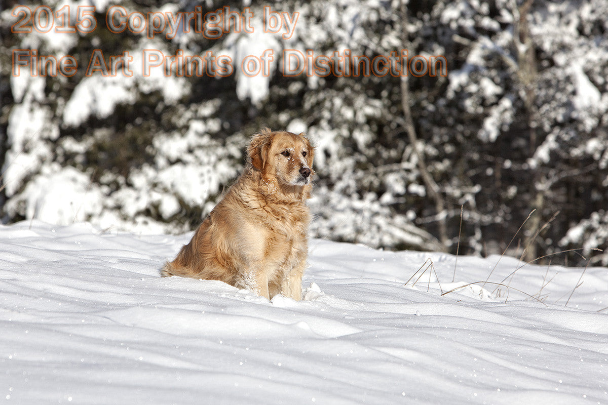 Golden Retriever Dog Standing Watch in the Snow Art Print
