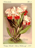Orchid Cattelya Mendelli Duke of Marlborough Art Print