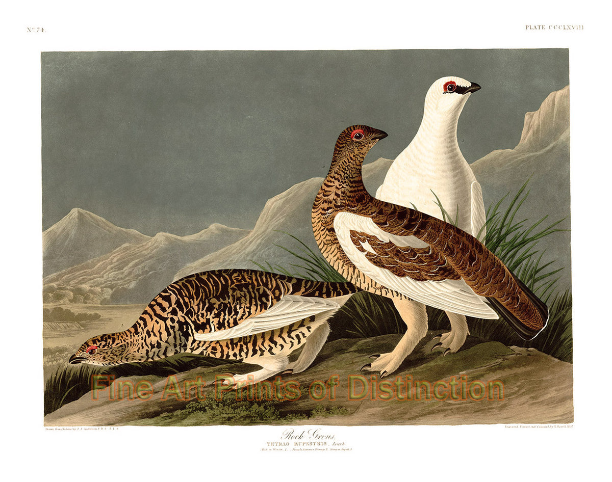 Rock Grouse by John James Audubon