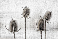 Medieval Drawing of Dried Teasel Stalks Art Print