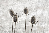 Teasel Long and Skinny Stalks Medieval Picture Art Print