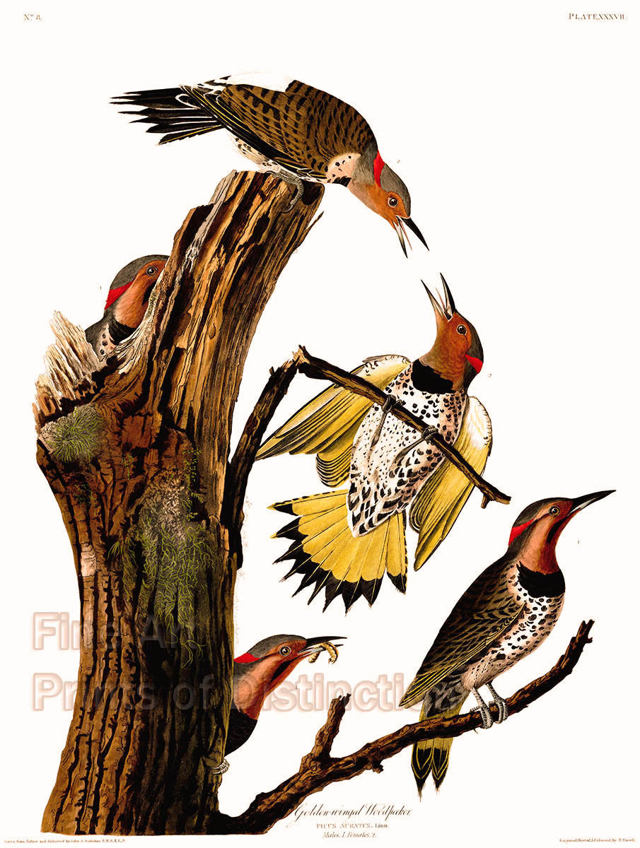 Golden Winged Woodpecker Fine Art Bird Print by John James Audubon
