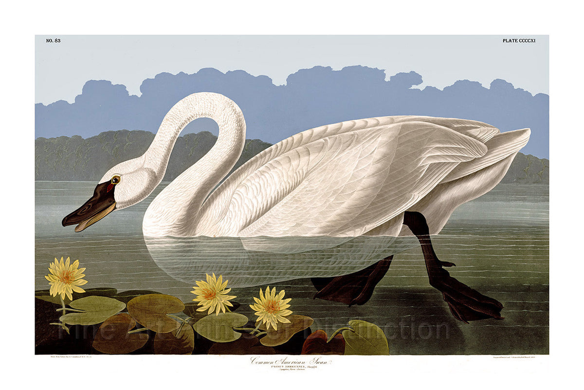 Common American Swan by Audubon Art Print