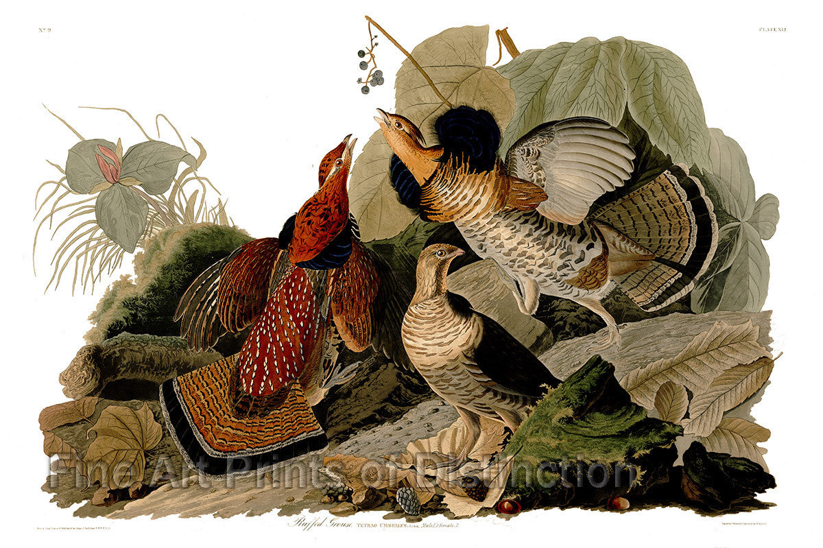Ruffed Grouse by John James Audubon