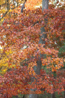 Crooked Fall Oak Tree with Reddish Brown Leaves